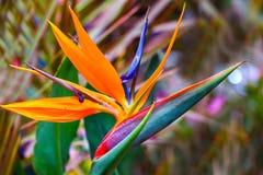 Oiseau exotique de jardin de fleur de paradis au printemps images stock