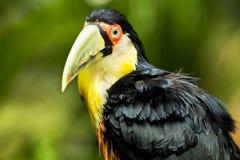 Oiseau exotique de toucan dans l'arrangement naturel près des chutes d'Iguaçu, Brésil photos stock