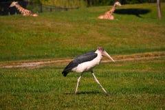 Oiseau exotique marchant dans la région de Tampa Bay de pré À l'arrière-plan nous voyons deux girafes images stock