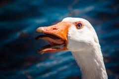 Oiseau fâché Photos libres de droits