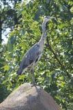 Oiseau fâché se tenant sur une roche Photographie stock