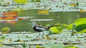 oiseau Faisan-coupé la queue de Jacana sur la feuille de lotus clips vidéos