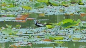 oiseau Faisan-coupé la queue de Jacana sur la feuille de lotus banque de vidéos