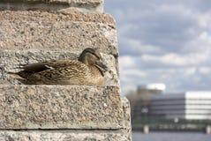 Oiseau, femelle de canard avec les plumes brunes se reposant sur les escaliers en pierre, o Image libre de droits