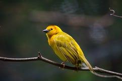 Oiseau femelle de tisserand de Taveta Photographie stock libre de droits