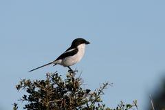Oiseau fiscal de Shrike Image libre de droits