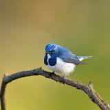 Oiseau (FLYCATCHER d'outre-mer), Thaïlande photographie stock libre de droits