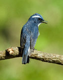 OISEAU : FLYCATCHER ultra bleu Photographie stock