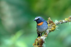Oiseau (Flycatcyer rufous-gorgeted), Thaïlande photographie stock