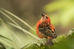 Oiseau fody rouge du Madagascar Photographie stock