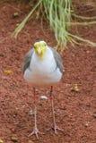 Oiseau fol Photos stock