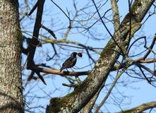 Oiseau gentil d'étourneau au printemps, la Lithuanie photos stock