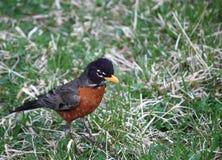 Oiseau gonflé par orange de Noir-sein Image libre de droits