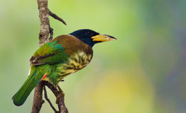 Oiseau : Grand Barbet Photographie stock