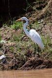 Oiseau grand de héron restant près de l'eau images libres de droits