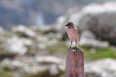 Oiseau grand de mésange Images libres de droits