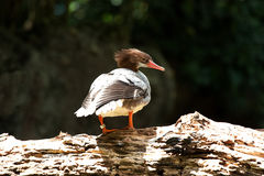 Oiseau gris Photographie stock