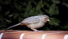 Oiseau gris d'arrière-cour Images stock
