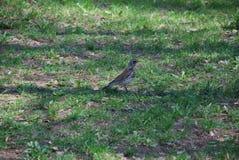 Oiseau gris de Brown recherchant la nourriture sur l'herbe dans la forêt images stock