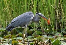 Oiseau gris de héron pêchant le succès avec un poisson rouge photos stock