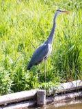 Oiseau gris de héron se tenant à l'eau Images stock