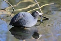 Oiseau gris se reposant sur l'eau Photo stock