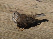 Oiseau (grive draine) sur le paquet de bois de construction Images stock