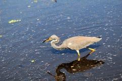 Oiseau, héron de la Louisiane photos libres de droits