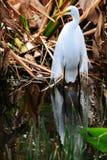 Oiseau : Héron grand dans le plumage d'élevage Photo stock