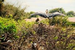 Oiseau : Héron partant de l'emboîtement Image libre de droits