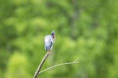Oiseau (Héron Vert) 1127 Stock Images