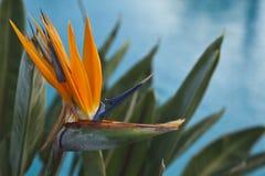 Oiseau hawaïen de strelitzia de fleur de paradis Photographie stock