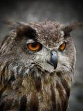 Oiseau - hibou photos libres de droits