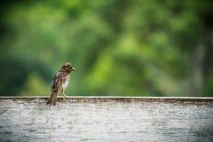 Oiseau humide de moineau se reposant sur un panneau en bois blanc de barrière attendant la pluie pour calmer vers le bas images stock