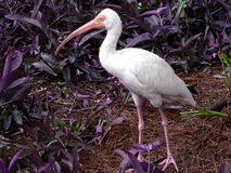 Oiseau - IBIS blanc Photographie stock