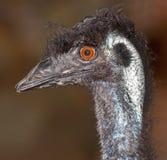 Oiseau incapable de voler d'émeu Image libre de droits