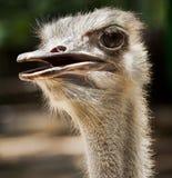 Oiseau incapable de voler d'autruche Photographie stock libre de droits