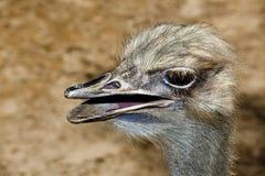 Oiseau incapable de voler d'autruche Photo stock