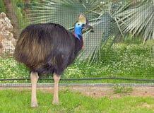 Oiseau incapable de voler du sud de casoar (casuarius de Casuarius) Photo libre de droits
