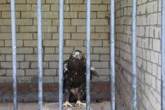 Oiseau, indicus au visage gris de Buzzard Eagle, de Butastur dans la cage et liberté de perte dans la vie images libres de droits