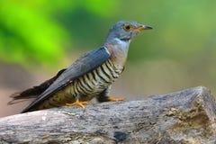 Oiseau indien de coucou photographie stock