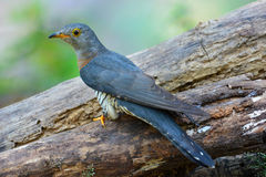 Oiseau indien de coucou Image libre de droits