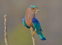 Oiseau indien de rouleau images libres de droits