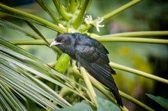 Oiseau indien noir de koel Photos libres de droits