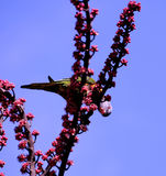 Oiseau indigène australien, perroquet de Lorikeet Rosella d'arc-en-ciel Image stock