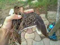 Oiseau insectivore intéressant, Iran, Gilan, Rasht images libres de droits