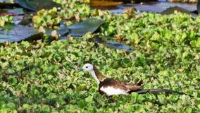 Oiseau (Jacana Faisan-suivi), Thaïlande Image stock