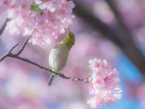 Oiseau japonais de Blanc-oeil dans les fleurs de cerisier Image stock