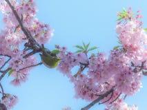 Oiseau japonais de Blanc-oeil dans les fleurs de cerisier Image libre de droits