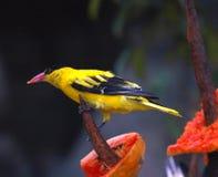 Oiseau jaune Photographie stock